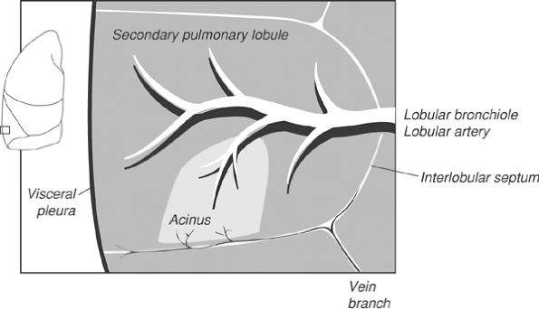 FIGURE 1-5. Secondary pulmonary lobule. Normal visceral pleural thickness is 0.1 mm. Lobular artery and bronchiole diameters are 1.0 mm. The secondary pulmonary lobule has a polyhedral shape and is the smallest discrete portion of lung that is surrounded by connective tissue septae (interlobular septae). Pulmonary veins and lymphatics are within the interlobular septae. A pulmonary acinus is defined as that portion of lung distal to the terminal bronchiole, and up to 12 acini can make up one secondary pulmonary lobule.