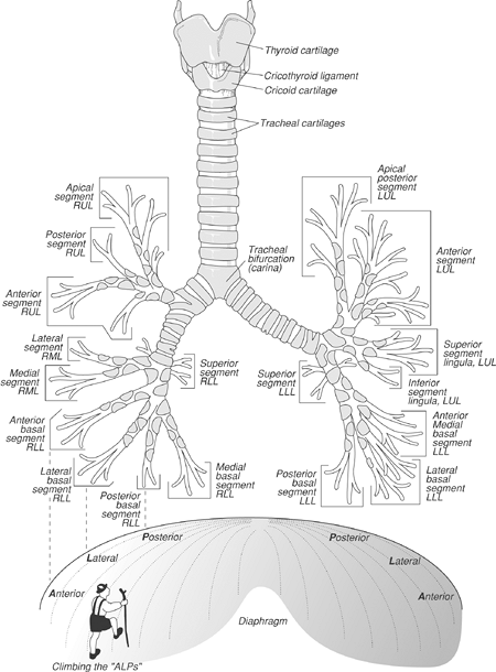 FIGURE 1-6. Diagram of normal airway anatomy, frontal view. Note how the basilar segmental bronchi are oriented from lateral to medial. The anterior basilar segmental bronchus is most lateral (pneumonia confined to the lateral segment of the right lower lobe extends to the periphery of the lung), and the posterior basilar segmental bronchus is medial, just lateral to the right medial basilar segmental bronchus. Climbing the diaphragm from lateral to medial can be thought of as climbing the ALPs (Anterior, Lateral, and Posterior basilar segmental bronchi), as a way to remember this orientation. RUL, right upper lobe; RML, right medial lobe; RLL, right lower lobe; LUL, left upper lobe, LLL, left lower lobe.
