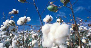 azerbaijan,cotton