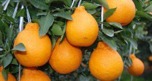 Azerbaijan Fruit